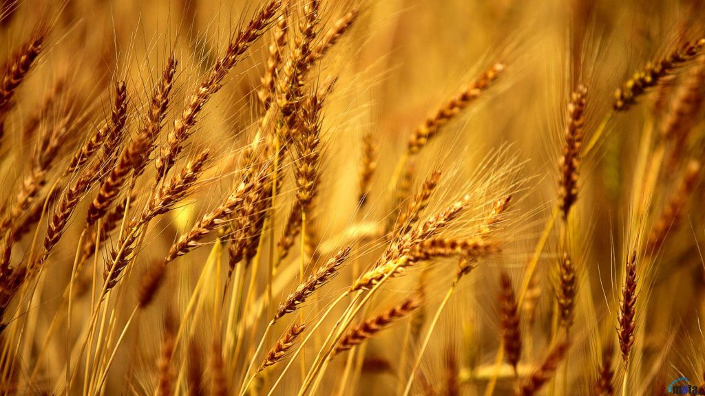 barley in hindi