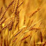 Barley in Hindi |जौ खाने के फायदे और उसमें पाए जाने वाले आवश्यक तत्व।