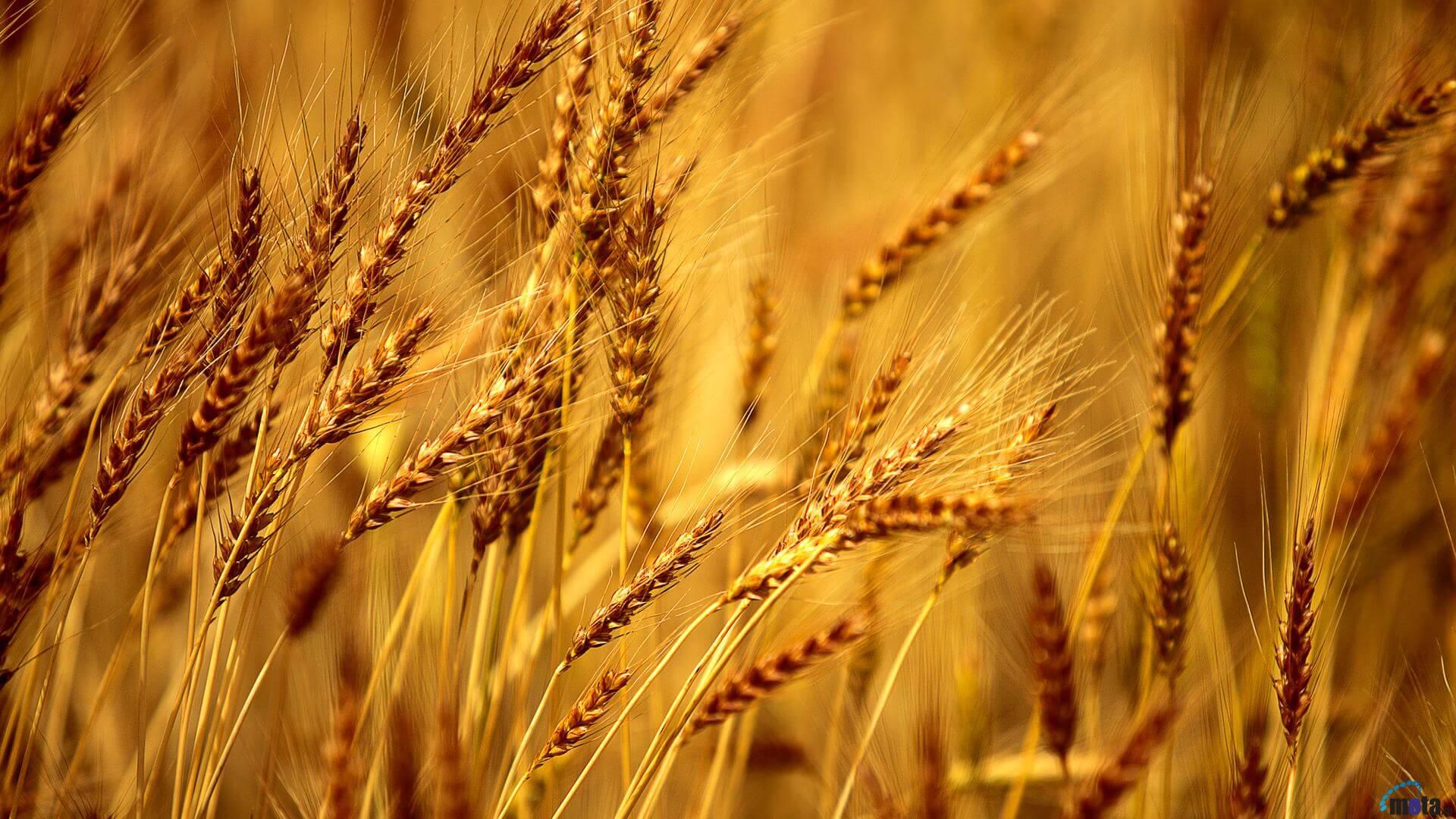 Barley in Hindi  जौ खाने के फायदे और उसमें पाए जाने वाले आवश्यक तत्व।